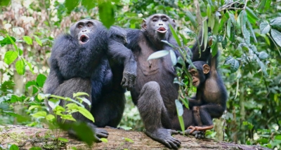 Chimpanzees 'talk' just like humans. It's time to realise how similar we are.